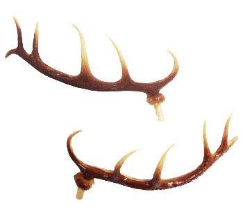 Cuckoo Deer Antlers